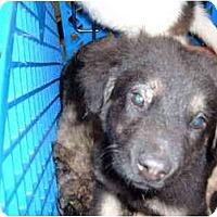 Adopt A Pet :: Storm - No.Charleston, SC