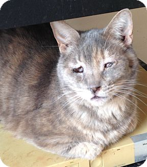 Domestic Shorthair Cat for adoption in Jacksonville, North Carolina - Gracie