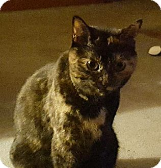 Domestic Shorthair Cat for adoption in Cleveland, Ohio - Gizmo