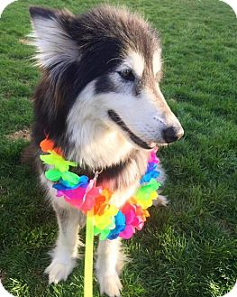 Alaskan Malamute/Collie Mix Dog for adoption in Livonia, Michigan - Odessa ♥- APPLICATIONS CLOSED