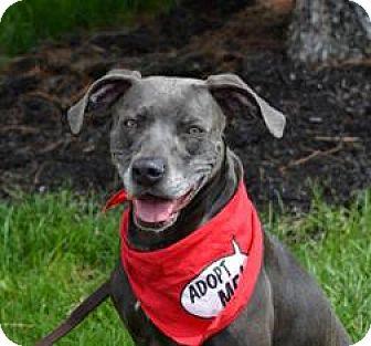 Blue Lacy/Texas Lacy/Weimaraner Mix Dog for adoption in Piqua, Ohio - Sheba