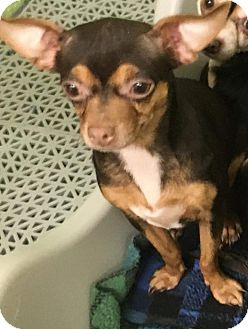 Chihuahua Mix Dog for adoption in Bucks County, Pennsylvania - Sniper