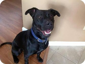 Labrador Retriever/Pit Bull Terrier Mix Dog for adoption in St Louis, Missouri - Shadow