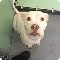 American Bulldog Mix Dog for adoption in Fredericksburg, Virginia - Nala
