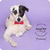 German Wirehaired Pointer Mix Dog for adoption in Houston, Texas - Franny