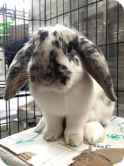 Lop-Eared Mix for adoption in Los Angeles, California - Sammy