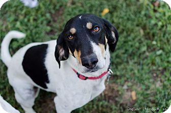 Coonhound Dog for adoption in Salt Lake City, Utah - Connie