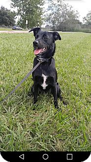 Labrador Retriever/Border Collie Mix Puppy for adoption in Columbus, Ohio - A - JASMINE
