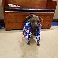 Adopt A Pet :: Dottie - New York, NY