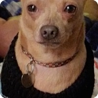 Chihuahua Mix Dog for adoption in Livonia, Michigan - Lupe (Cq) - ADOPTION PENDING