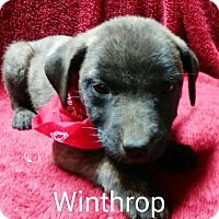 Boxer/Chow Chow Mix Puppy for adoption in Hagerstown, Maryland - Winthrop