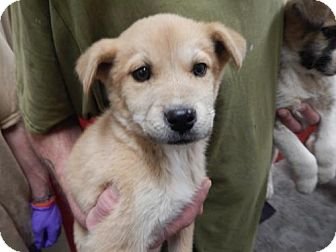 Husky Mix Puppy for adoption in Pikeville, Kentucky - Snuggles