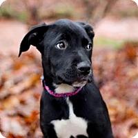 Adopt A Pet :: PUPPY LADY JUNO - richmond, VA
