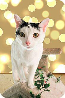 Domestic Shorthair Cat for adoption in McDonough, Georgia - Thor