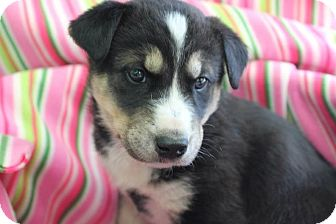 Husky/Labrador Retriever Mix Puppy for adoption in Garden City, Michigan - Mimosa