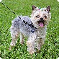 Adopt A Pet :: *Cuddly Jane - PENDING - Westport, CT