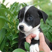 Adopt A Pet :: Echota - ADOPTION PENDING - Albany, NY