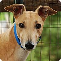 Adopt A Pet :: Dagger - Ware, MA