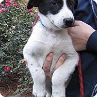 Adopt A Pet :: Ben - Oakland, AR