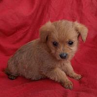 Adopt A Pet :: ADAM - richmond, VA
