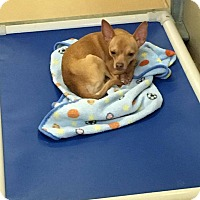 Adopt A Pet :: Corey - st peters, MO