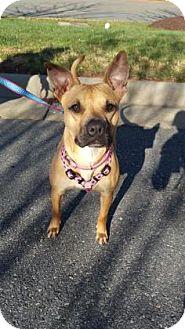 Boxer/Feist Mix Dog for adoption in Burlington, North Carolina - Jazzy