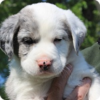 Adopt A Pet :: Fifth - Joliet, IL