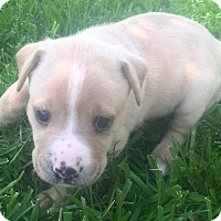 Adopt A Pet :: Lilly - St Petersburg, FL