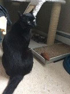 Domestic Shorthair Cat for adoption in Manchester, Connecticut - Jack