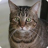 Domestic Shorthair Cat for adoption in North Fort Myers, Florida - Klause