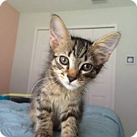 Adopt A Pet :: Simba (Long haired kitten) - New Smyrna Beach, FL