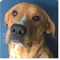 Labrador Retriever Mix Dog for adoption in Springdale, Arkansas - Tango