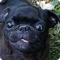 Adopt A Pet :: Ebony - Lexington, KY