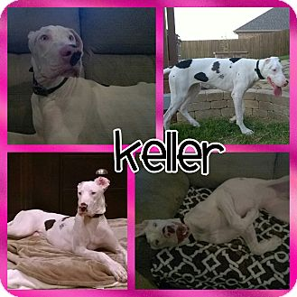 Great Dane Mix Puppy for adoption in Lubbock, Texas - Keller
