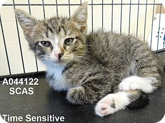 Domestic Shorthair Kitten for adoption in Lake Panasoffkee, Florida - Nikki