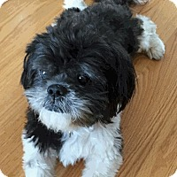 Shih Tzu Dog for adoption in Shallotte, North Carolina - Duncan
