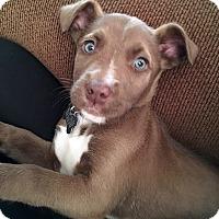 Adopt A Pet :: Caramello - Detroit, MI