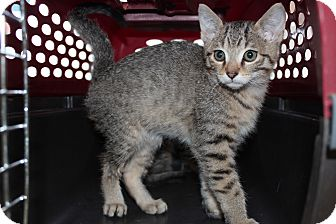 Abyssinian Kitten for adoption in Santa Monica, California - Bradley