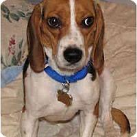 Adopt A Pet :: Rosie - Novi, MI
