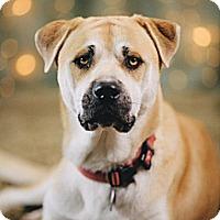 Adopt A Pet :: Coda - Portland, OR
