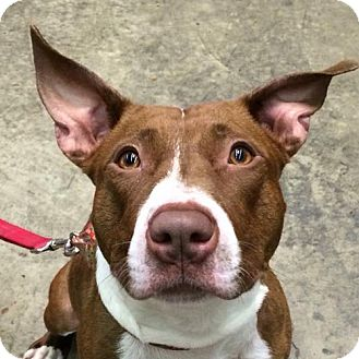 Pit Bull Terrier Mix Dog for adoption in Fairfax, Virginia - Cookie *Needs Foster*