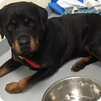 Rottweiler Dog for adoption in White Hall, Arkansas - Neddy (Independent Adoption)