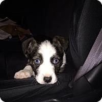 Adopt A Pet :: Cali - Brea, CA