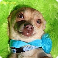Chihuahua Dog for adoption in Vass, North Carolina - Romeo
