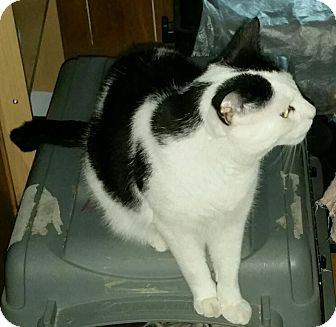 Domestic Shorthair Cat for adoption in Kitchener, Ontario - William