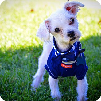 Maltese Dog for adoption in Redondo Beach, California - Pablo-ADOPT Me!