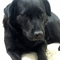 Adopt A Pet :: Ebony - New Canaan, CT