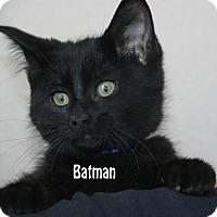 Domestic Shorthair Kitten for adoption in Idaho Falls, Idaho - Batman
