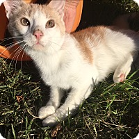 Adopt A Pet :: creamsicle - Baltimore, MD