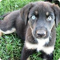 Adopt A Pet :: Storie - Trenton, NJ